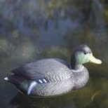 Canard Colvert mâle